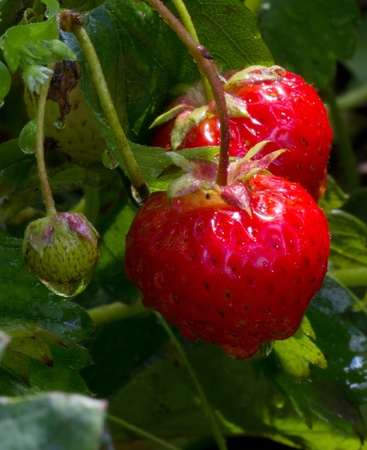 strawberries in the garden after the rain. macro Stock Photo