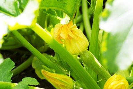 zucchini blossoms in the garden. macro