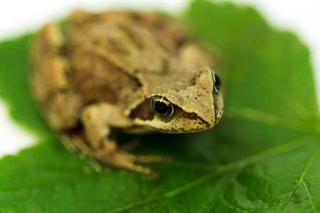 Brown frog on green leaf. macro photo