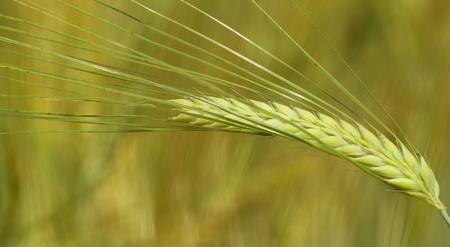 stalk of wheat. wheat field. macro