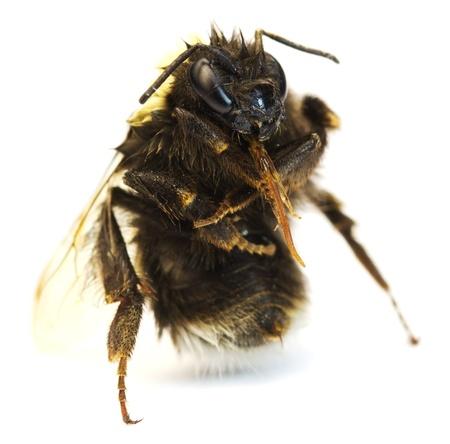 bumblebee on a white  background. macro Stock Photo