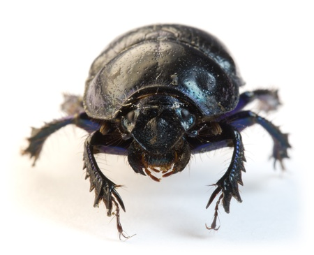 Dung-beetle closeup  on a white background