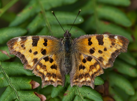 orange butterfly with black speckles. closeup