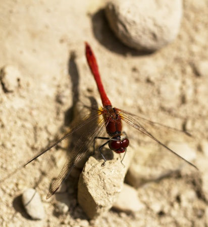 red dragonfly on the rocks. macro Stock Photo