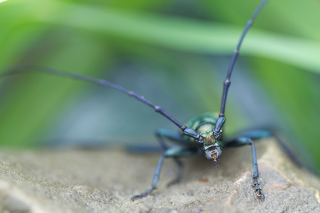 longhorned: long-horned beetle closeup under natural conditions