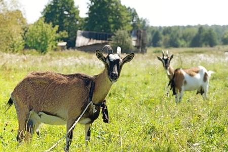 two goats graze in the meadow. outdoor Stock Photo