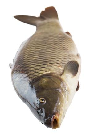 crucian carp: fresh carp fish closeup on white background