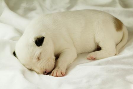 newborn puppy sleeping on silk fabric Stock Photo