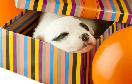 newborn puppy sleeping in a gift box