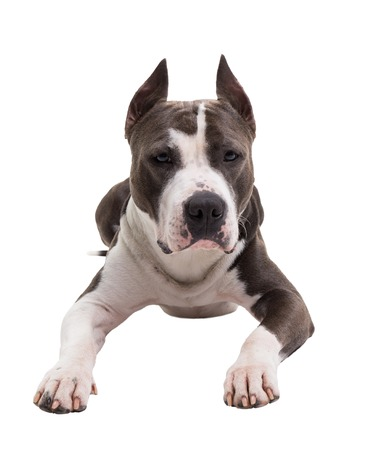 American pit bull terrier lies on a white background in studio.