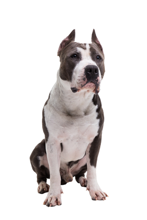 American pit bull terrier is sitting on a white background in studio.