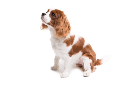 Cavalier King Charles Spaniel is sitting in studio on white background - isolate with shadow.