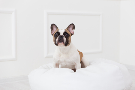 portrait of a dog of a French bulldog at home in a light interior close-up.