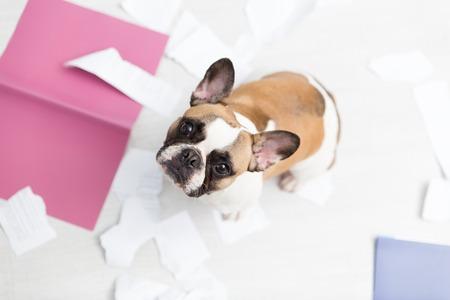 家のペットが家に連れて行かれました。白い床に引き裂かれた文書。ペットケア抽象的な写真。面白い顔を持つ小さな罪悪感の犬