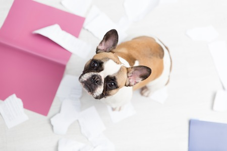 A domestic pet has taken on a home. Torn documents on white floor. Pet care abstract photo. Small guilty dog with funny face