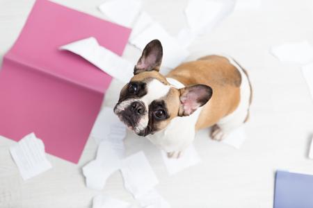 Un animal domestique a pris une maison. Documents déchirés sur le sol blanc. Photo abstraite de soins pour animaux de compagnie. Petit chien coupable avec drôle de tête