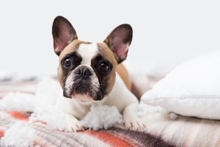 Il distruttore domestico dell'animale domestico si trova sul letto con un cuscino strappato. Foto astratta di cura dell'animale domestico. Piccolo cane colpevole con la faccia buffa Archivio Fotografico - 93763566