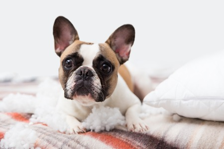 home pet destroyer lies on the bed with a torn pillow. Pet care abstract photo. Small guilty dog with funny face Archivio Fotografico