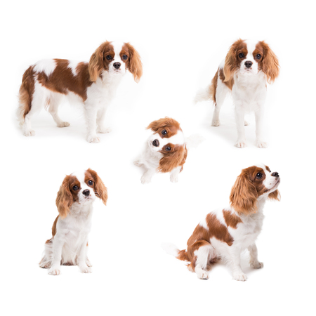Pedigree dogs collage. Cavalier King Charles Spaniel in studio on white background - isolate with shadow.