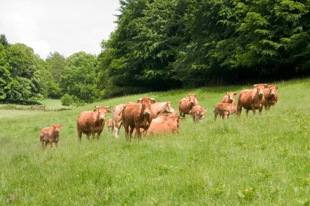 A herd of limousine cows  photo