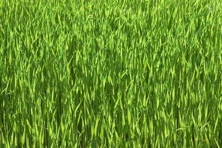 wheatfield:  green wheatfield