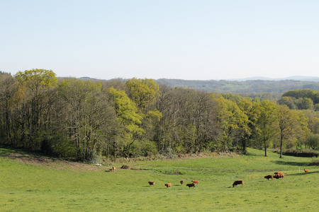 limousin: herd of cows in Limousin, France  Stock Photo