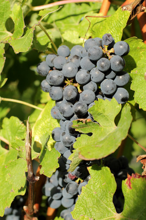 saint emilion: bunches of black grapes near Bordeaux.