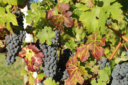 milion: bunches of black grapes near Bordeaux.