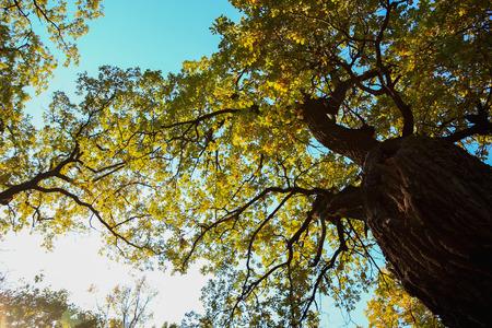 branched: Large branched oak tree with yellowing leaves. Autumn