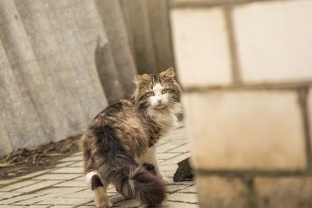 longhair: Pribludy Longhair cat ran in the yard Stock Photo