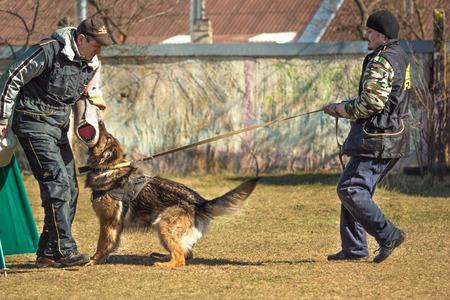 handlers: Gomel, Belarus - March 27, 2016: Two male dog handlers conduct classes with the German Shepherd. Biting dog. Alsatian Wolf Dog. Deutscher, dog