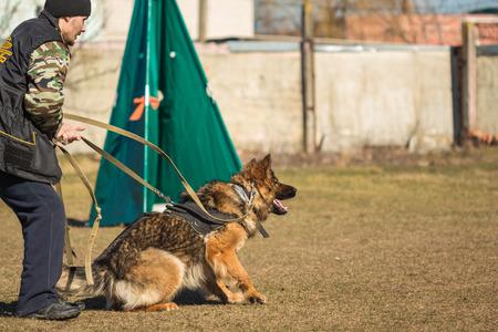 alsatian: Gomel, Belarus - March 27, 2016: Man holding on a leash by a German shepherd on employment protection. Biting dog. Alsatian Wolf Dog. Deutscher, dog
