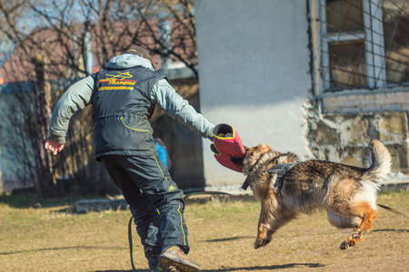 fulfill: Gomel, Belarus - March 27, 2016: Dog handler German Shepherd and fulfill protection.  Biting dog. Alsatian Wolf Dog. Deutscher, dog