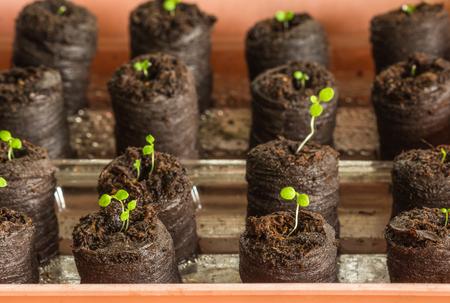 turba: Young saplings of petunia(Petunia Juss) plants in peat tablets Foto de archivo