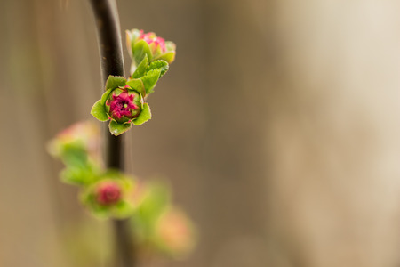 almond bud: Almond branch with a blossoming flower blown on it
