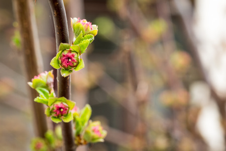 almond bud: Red-Green blown bud on a branch of almond Stock Photo