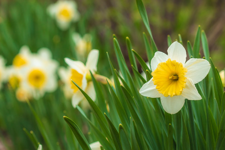 ajax: Blooming flower bud narcissus with white petals and green stems