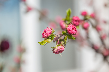 almond bud: Blooming almond branch with several flowers pink