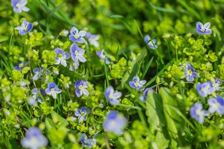 veronica flower: Blue little flower close-up Veronica filiformis among green grass Stock Photo