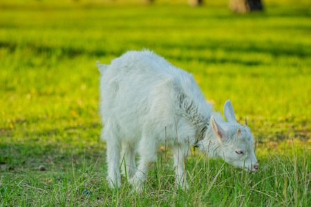 Beauty young goatling nibbling the green grass in the meadow