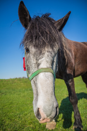 face close up: Gray face dark brown horse close up against the sky Stock Photo