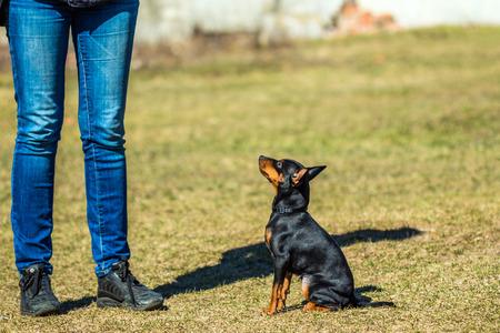 pincher: Pincher Pinscher puppy sitting on the grass near the hostess at the training Stock Photo