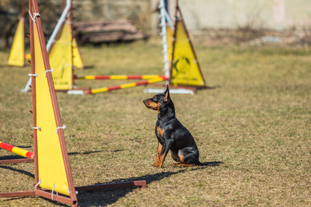 pincher: Little beautiful Pincher Pinscher sitting in front of an obstacle course Stock Photo