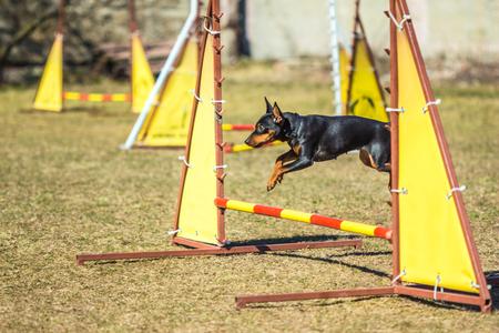 pincher: Pincher Pinscher jumping through a barrier outdoor