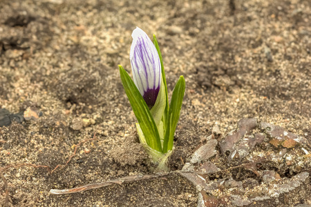 not open: Young not budded flower crocus growing in the open ground