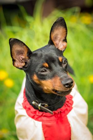 pincher: Muzzle Pincher Pinscher dog close up in jacket