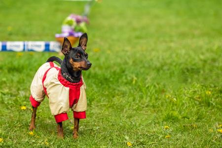 pincher: Beautiful Pincher Pinscher in a funny jacket outdoors on green grass