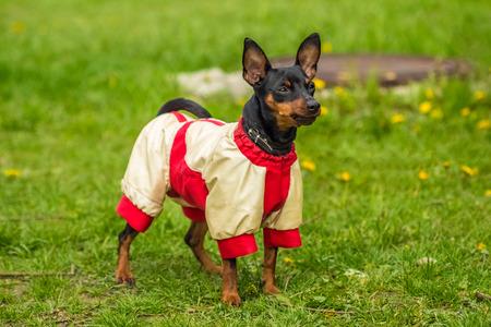 pincher: Pincher Pinscher standing on green grass in a fun beautiful white red sweater