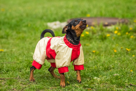 pinscher: Funny Pinscher Pinscher in white and red jacket Stock Photo