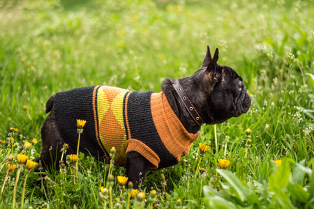 Handsome young French Bulldog dog in profile in a green grass